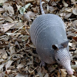 how to get rid of armadillos in yard