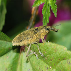 how to get rid of weevils in house