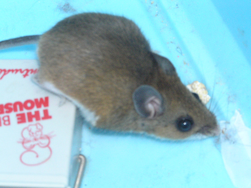 how to catch mice in your house
