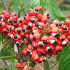 How Does Overconsumption of Guarana Affect Health