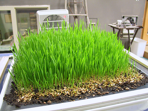 how to grow wheatgrass indoors video