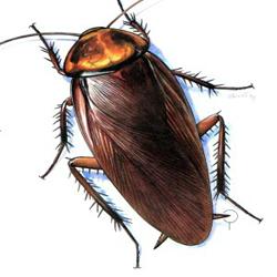 American Cockroache