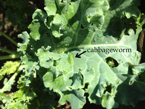 cabbage worms