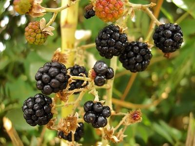 mulberry allergy